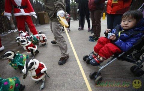 Нарядные пингвины в костюмах Санты