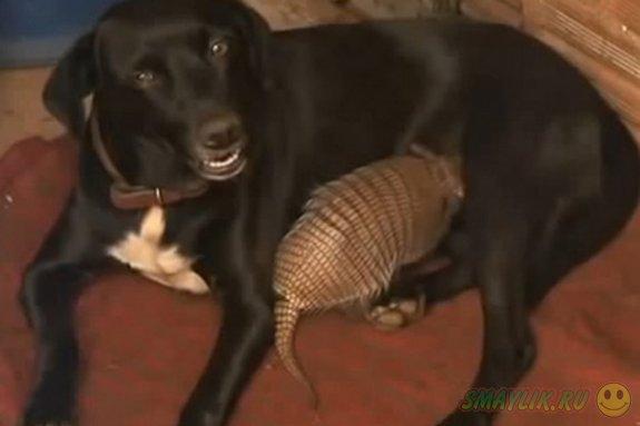В Бразилии собака взяла на себя опеку над детенышами броненостца