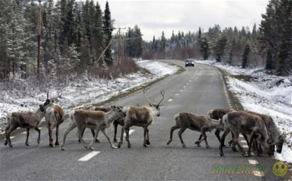 В Норвегии оленям оденут на рога манжеты