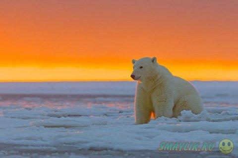 Белые медведи во время заката на Аляске