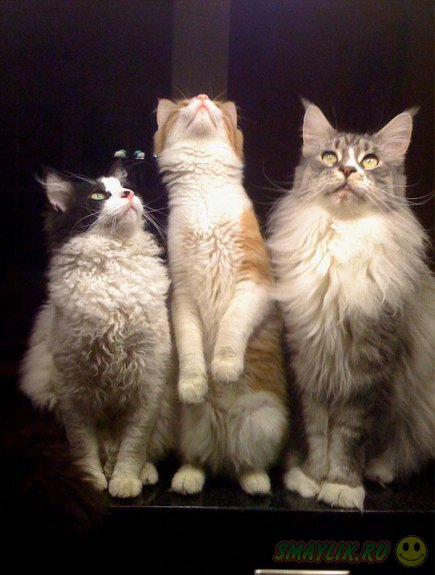 La Perm - кошки с кудряшками