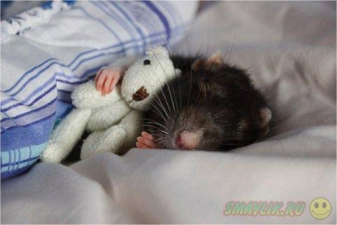 Домашние крыски с плюшевыми мишками
