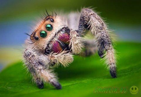 Невероятные макроснимки пауков-скакунов