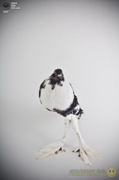 Голуби в фотографиях Ричарда Бэйли