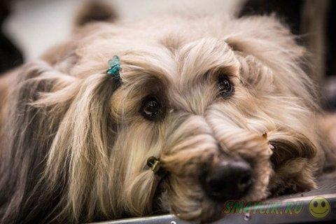 Выставка собак Westminster Kennel Club 2014 в Нью-Йорке