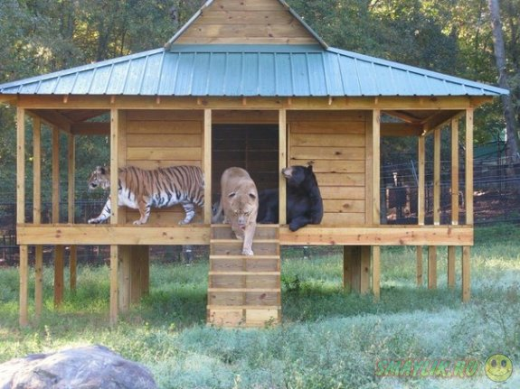 Необычная дружба медведя, льва и тигра