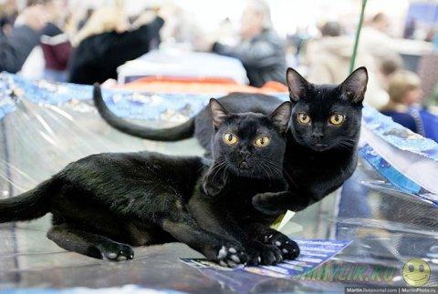 Международная выставка кошек «Кэтсбург 2014»