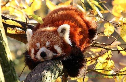 Огненный малыш - красная панда