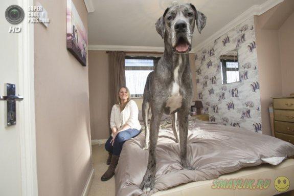 Самая большая собака Великобритании - пес Фредди