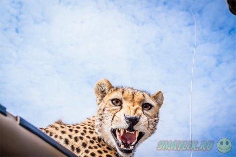 Встреча фотографа с юным гепардом в Танзании