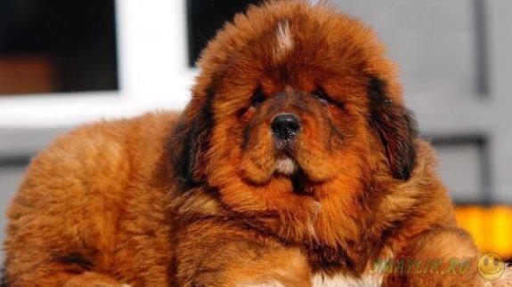 В Китае щенка тибетского мастифа продали за 12 миллионов юаней