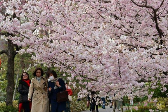В Японии время цветения сакуры