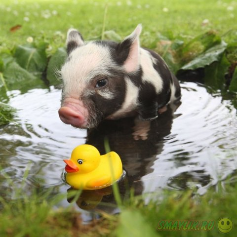 Карликовые свинки с фермы Pennywell Farm