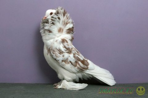 Красота декоративных голубей
