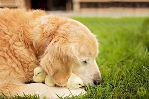 Жизнерадостный пес Чемпион в компании с цыплятами