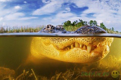 Аллигаторы в болотах Национального парка Эверглейдс