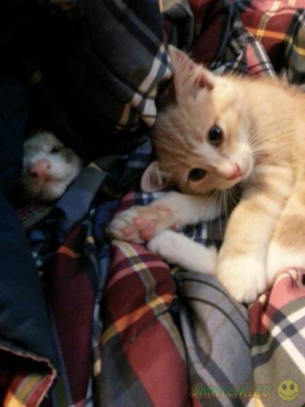 Рыжий котенок со своими любимыми друзьями-хорьками