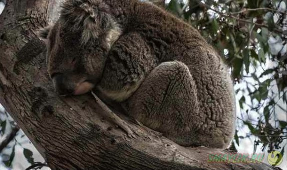 Сладкий сон милых коал