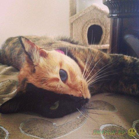 Удивительный окрас двуликой кошки