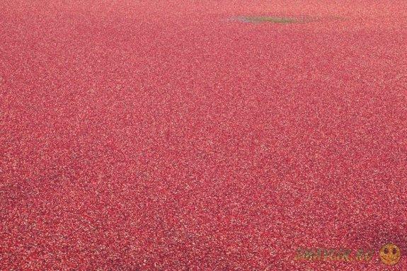 Ягода клюква -  кладезь витаминов и микроэлементов