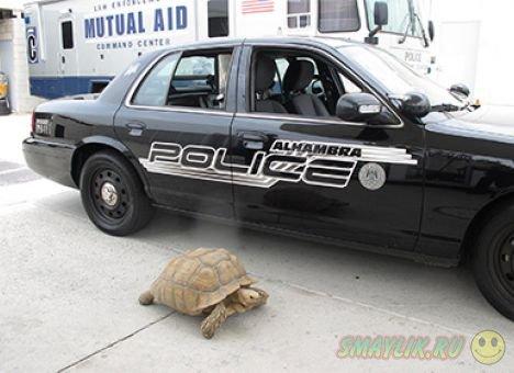 Полицейские в Калифорнии ловили 70-килограммовую черепаху