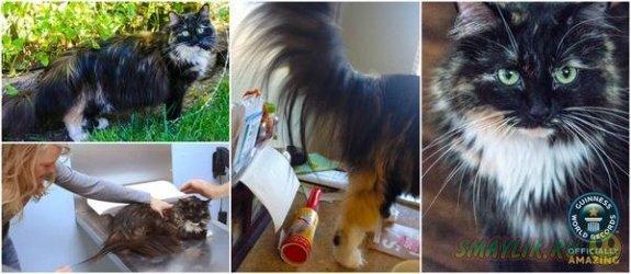 Кошка Софи из Калифорнии рекордсмен по длине шерсти