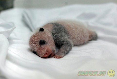 В Китае в сафари-парке появились на свет панды-тройняшки