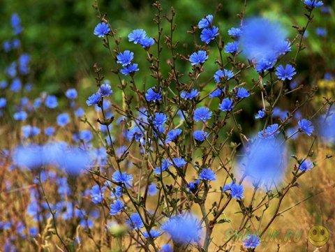 Особая красота полевых цветов