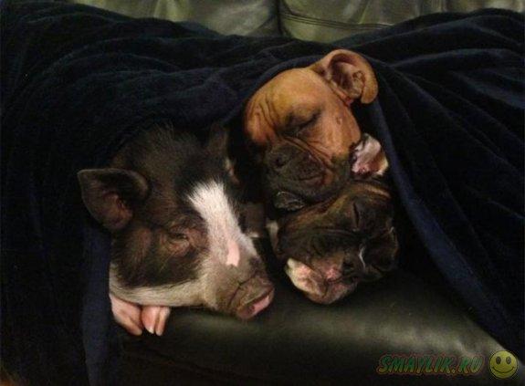 Вирджиния - декоративная свинка, которая думает, что она собака