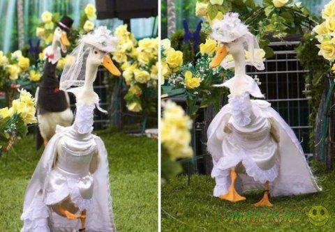 Модное шоу уток - Pied Piper Duck Show