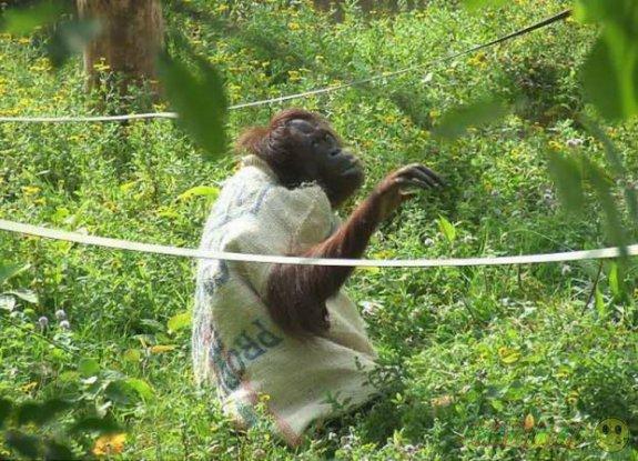 Орангутанг-девочка из зоопарка Пейтон сама смастерила себе платье