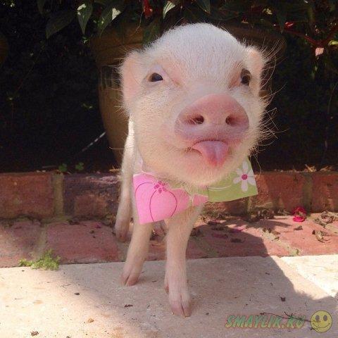 Модные свинки