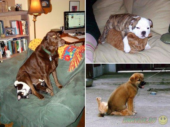 Собаки, облюбовавшие котов в качестве удобной мягкой подушечки