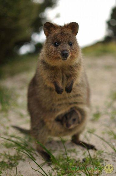 Счастливый  кенгуру - Квокка
