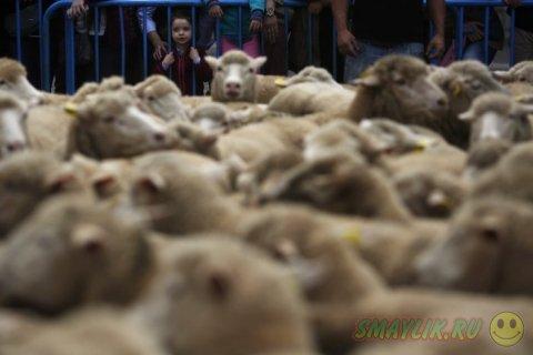Ежегодный парад овец в столице Испании