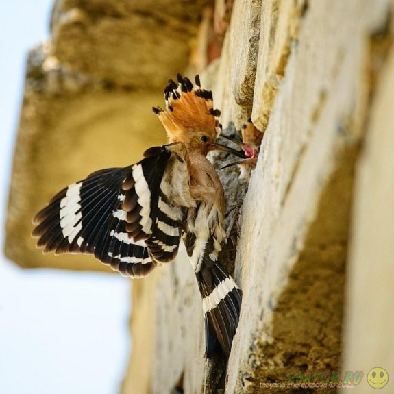 Яркая птичка - удод