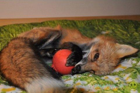 Забавный домашний питомец - лисичка Викси