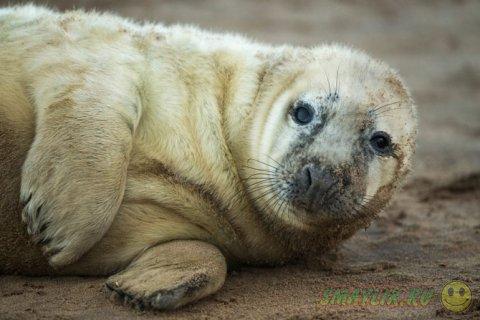 Серые тюлени английского графства Линкольншир