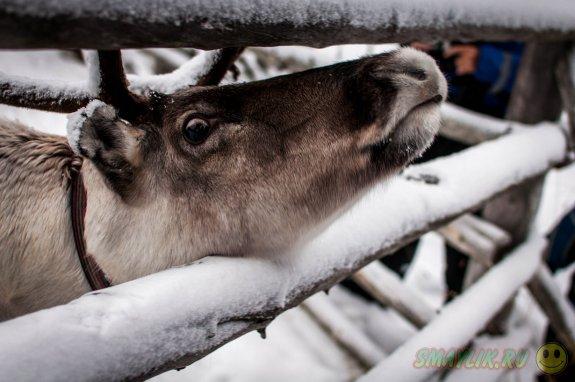 Уютные иглы в зимнем лесу Финляндии