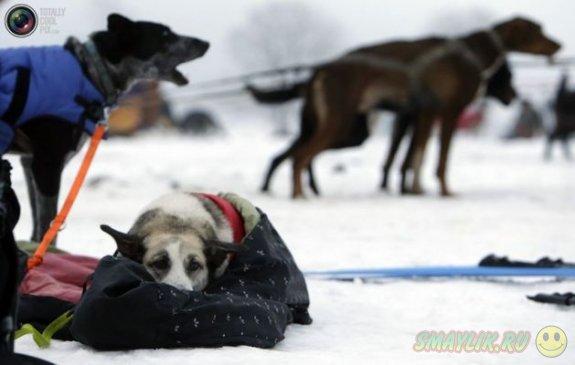 Гонка на собачьих упряжках в  Чехии