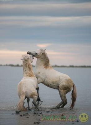 Удивительно красивые белые лошади с юга Франции