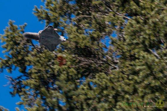 Фотографу Евгению Попову удалось заснять летящую белку-летягу