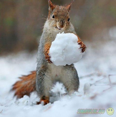Белки, резвящиеся в снегу
