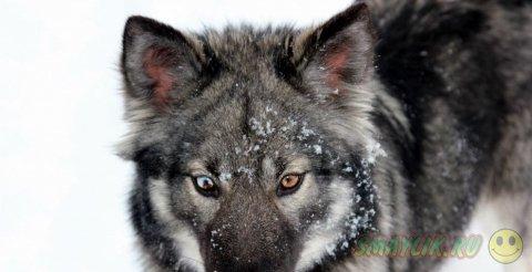 Волкособы — гибрид волка и немецкой овчарки