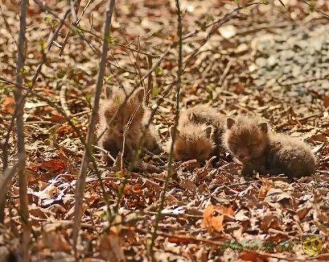 Маленькие лисята, поселившиеся на заднем дворе