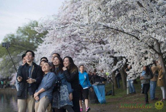 Время цветения сакуры