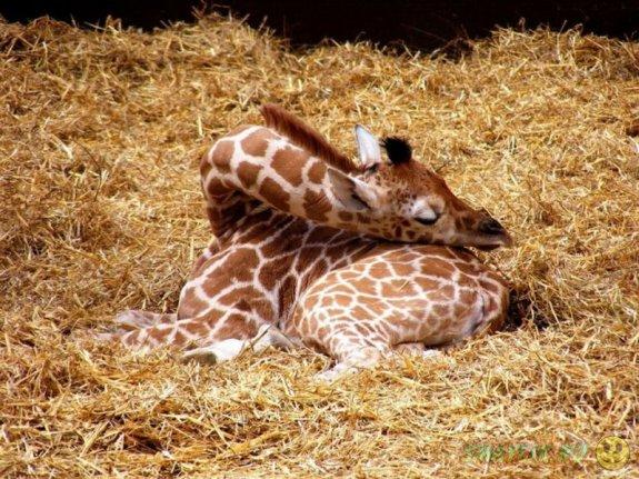 Трогательные и беззащитные - спящие жирафы