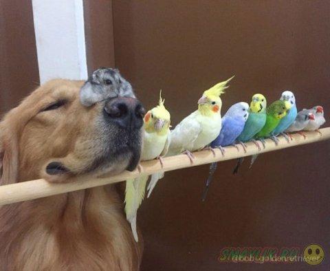 Ретривер, хомяк и восемь птиц