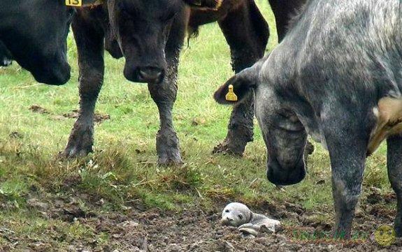 В Британии детеныша серого тюленя спасили любопытные коровы