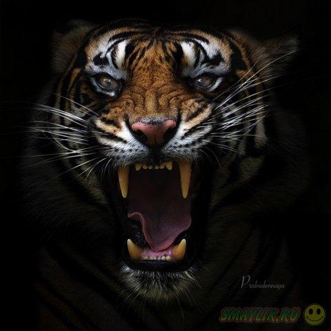 Тигр - самая величественная кошка на планете
